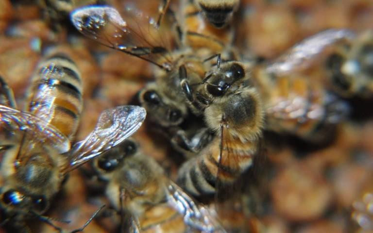 Allogrooming honeybees