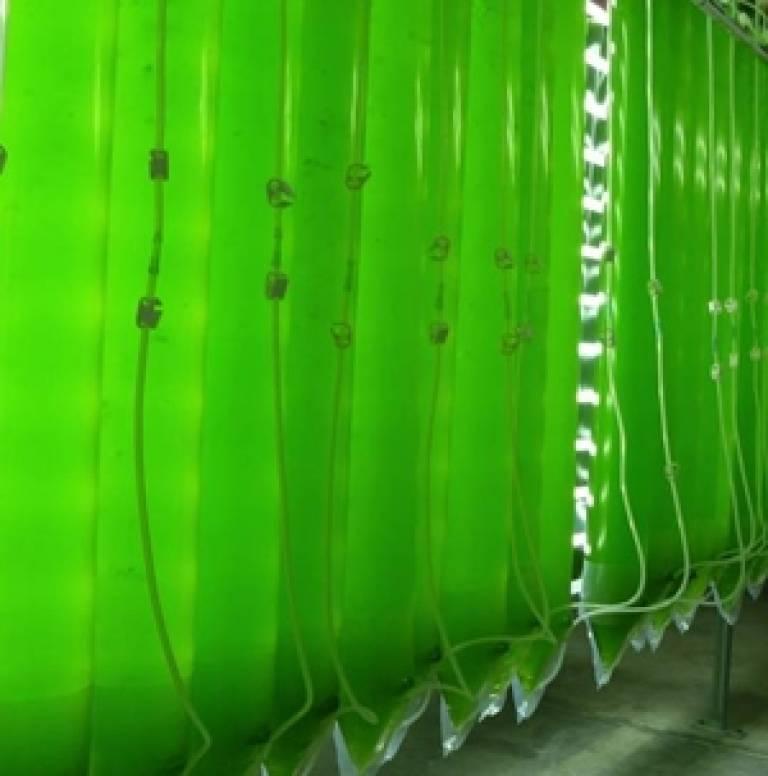Microalgae 'hanging bags'