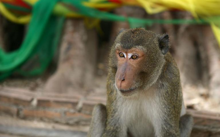 Macaque at Wat Khao Takiab