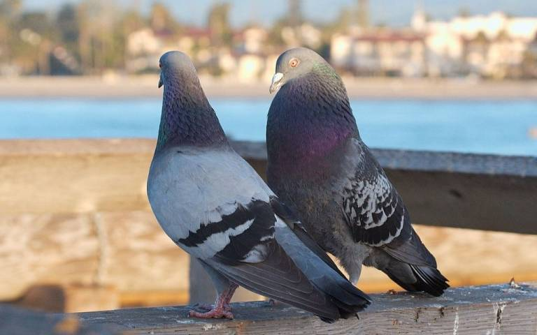 Pigeons courting