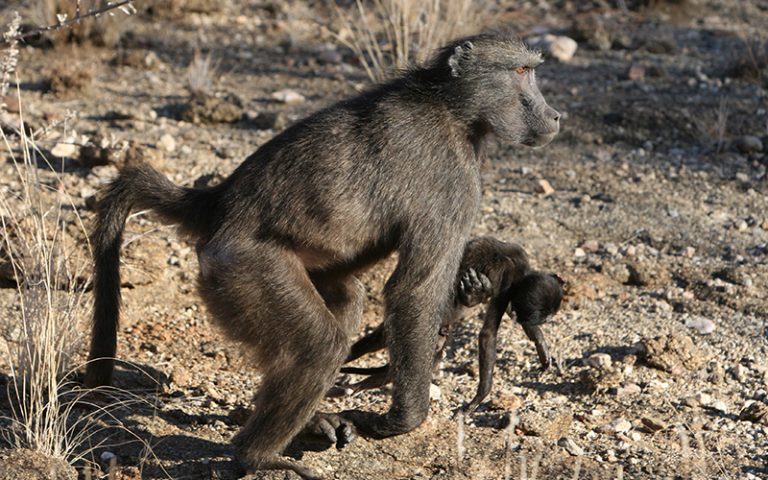 an image of a baboon carrying the corpse of its infant