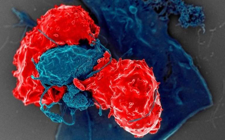 Regulatory T cells, or Tregs, usually act as brakes on our immune system