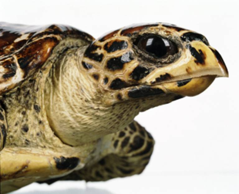 Hawkbilled Turtle