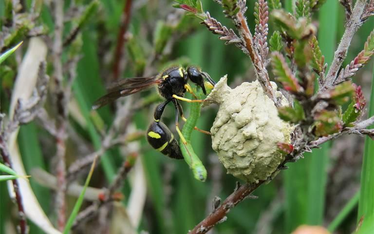 Wasp with moth larva
