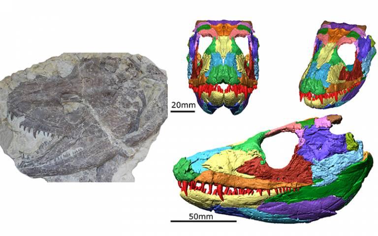 Amphibian fossil and digital recreation