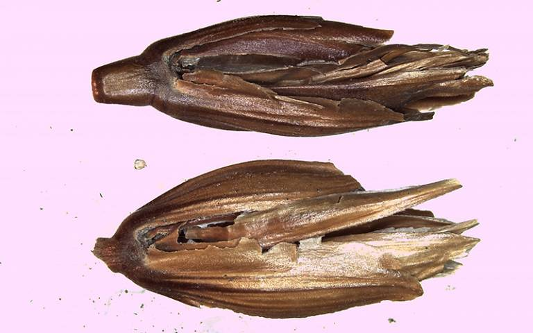Wheat sample