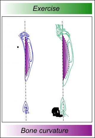 curve of a bone
