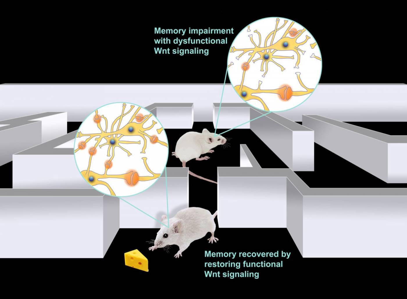mice nerve cells