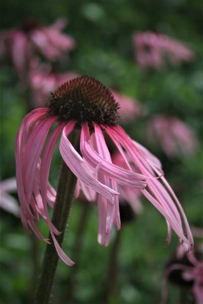 Echinacea flower from Tasmania
