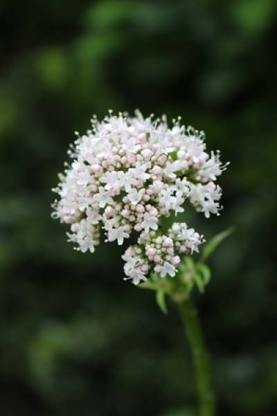 Valerian Plant UCL SoP Medicinal Garden