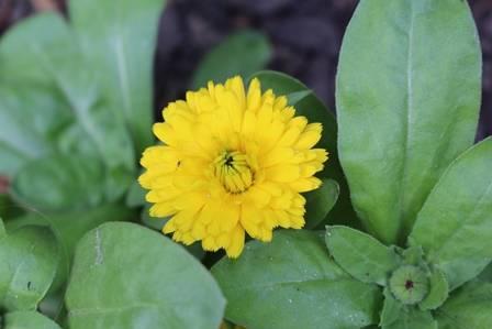 Calendula Flower from UCL SoP Medicinal Garden
