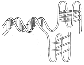 Hand drawing of B-form, G_quadruplex and i-motif DNA structures