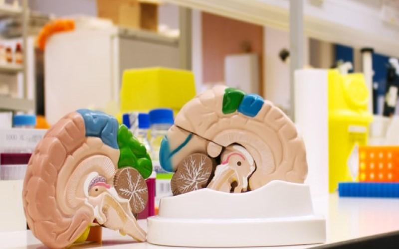 brain anatomy