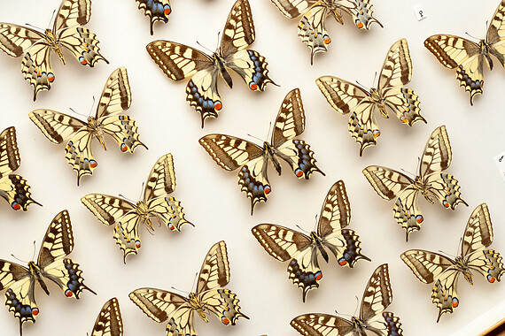 Mounted butterflies in the UCL Collection
