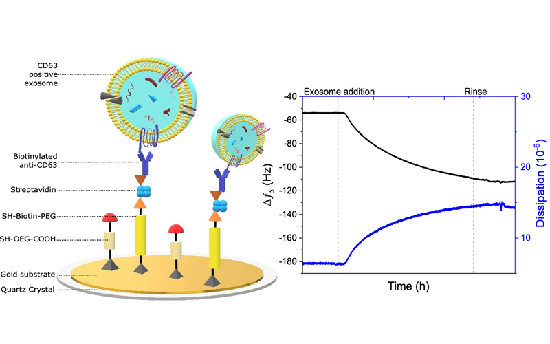 ToC figure of paper: Acoustic Immunosensing of Exosomes Using a Quartz Crystal Microbalance with Dissipation Monitoring