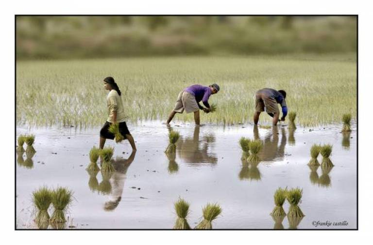 Pilippines planting rice