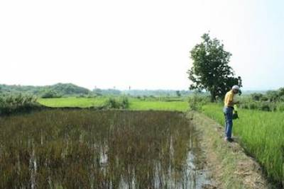 Prof. Kajale surveying a rice field for weeds