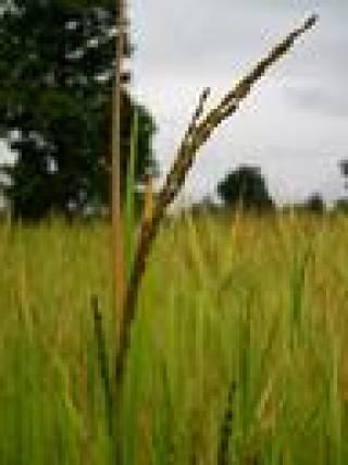 Orissa Rice