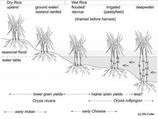The wetness spectrum of rice cultivation