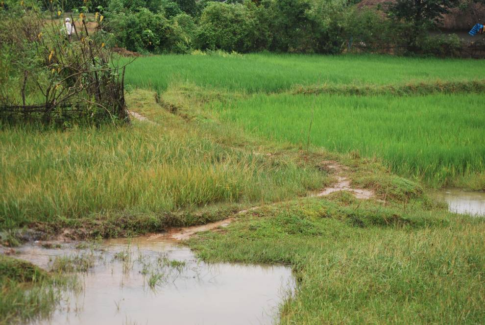 Annual wild rice on margins of cultivation