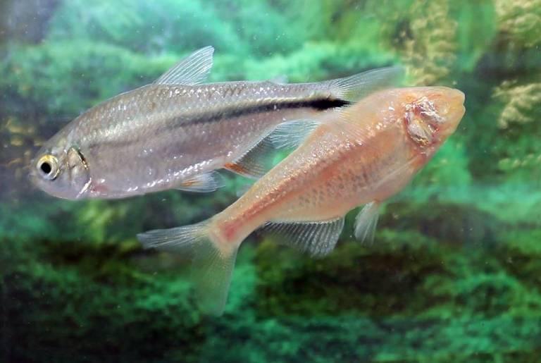 cavefish.jpg