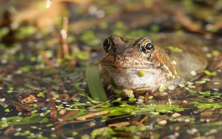 common_frog_c_londonderry_desmond_loughery_2_cropped.jpg