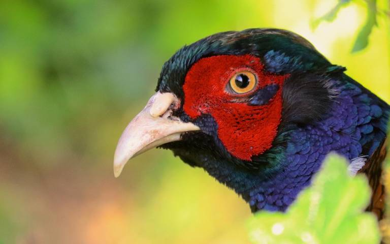 the_ring-necked_pheasant_phasianus_colchicus_cropped.jpg