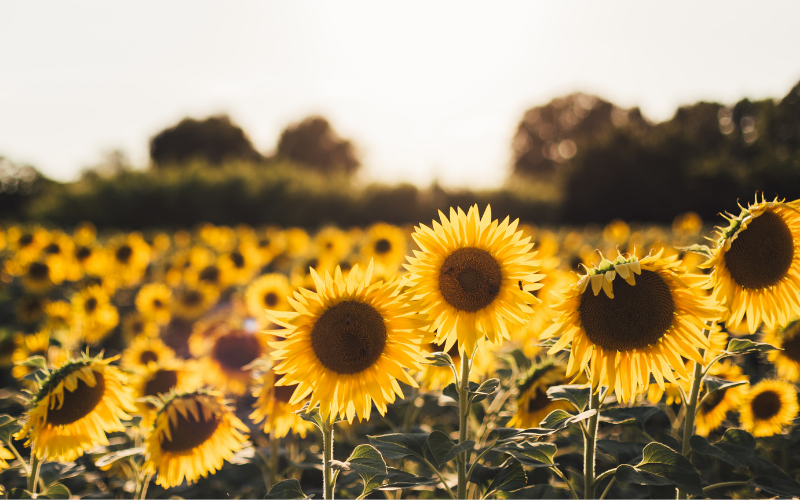 A field of sunflowers in the sunshine