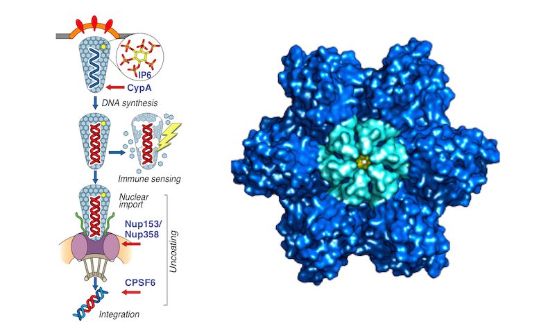 Capsid cofactor interactions. A new Collaborative grant from the Wellcome Trust