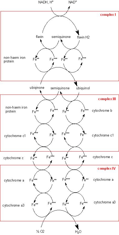 electron transport chain steps pdf